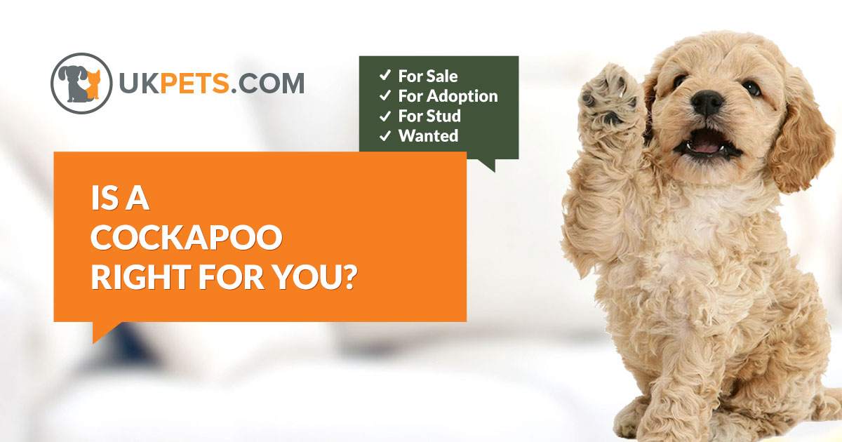 Cockapoo Dogs And Puppies For Sale In The Uk
