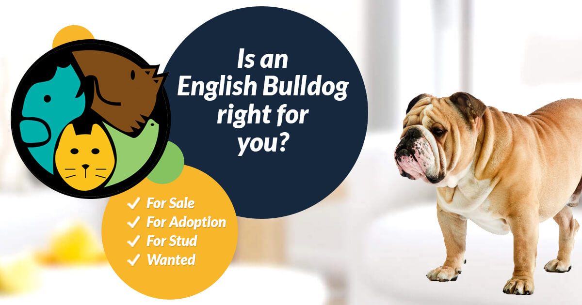 English Bulldog Dogs For Sale | UK Pets
