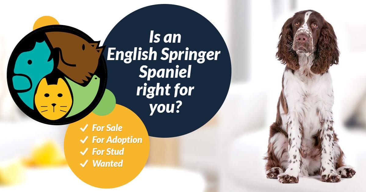 English Springer Spaniel For Stud UK | UK Pets