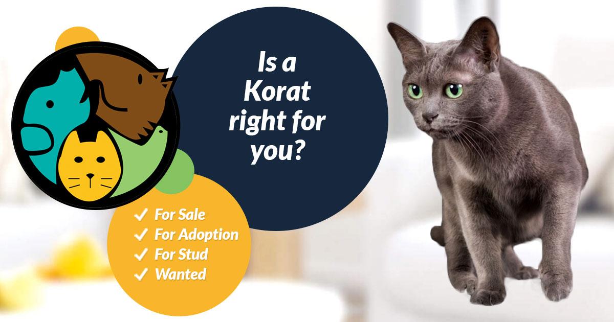 Korat Cat Breed Information | UK Pets