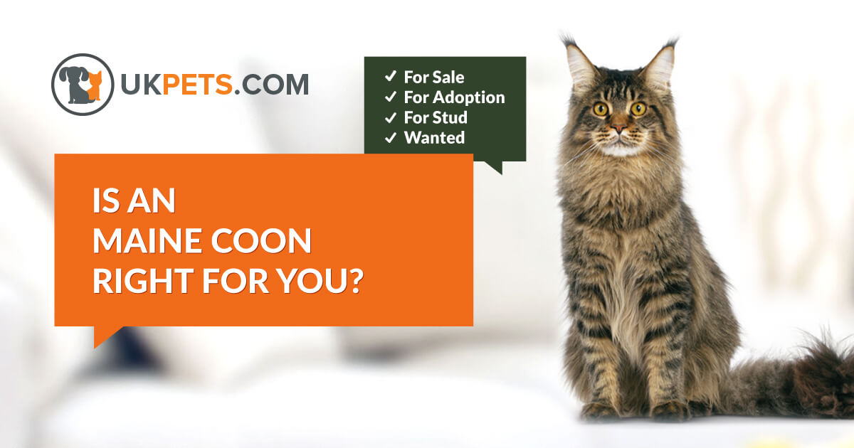 Maine Coon cats and kitten for sale in UK | UK Pets
