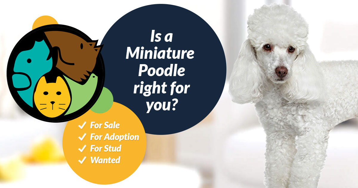 Miniature Poodle Dog Breed Information Uk Pets