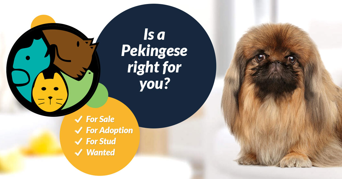 Pekingese Dogs For Sale | UK Pets