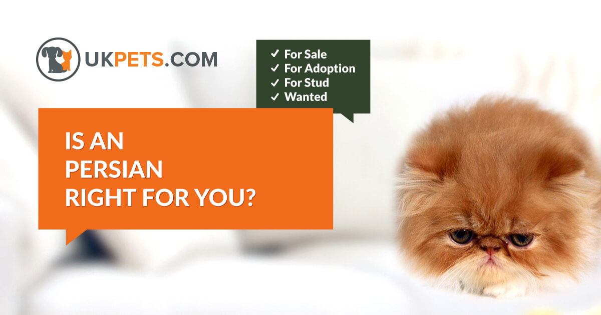 Persian cats and kitten for sale in UK | UK Pets