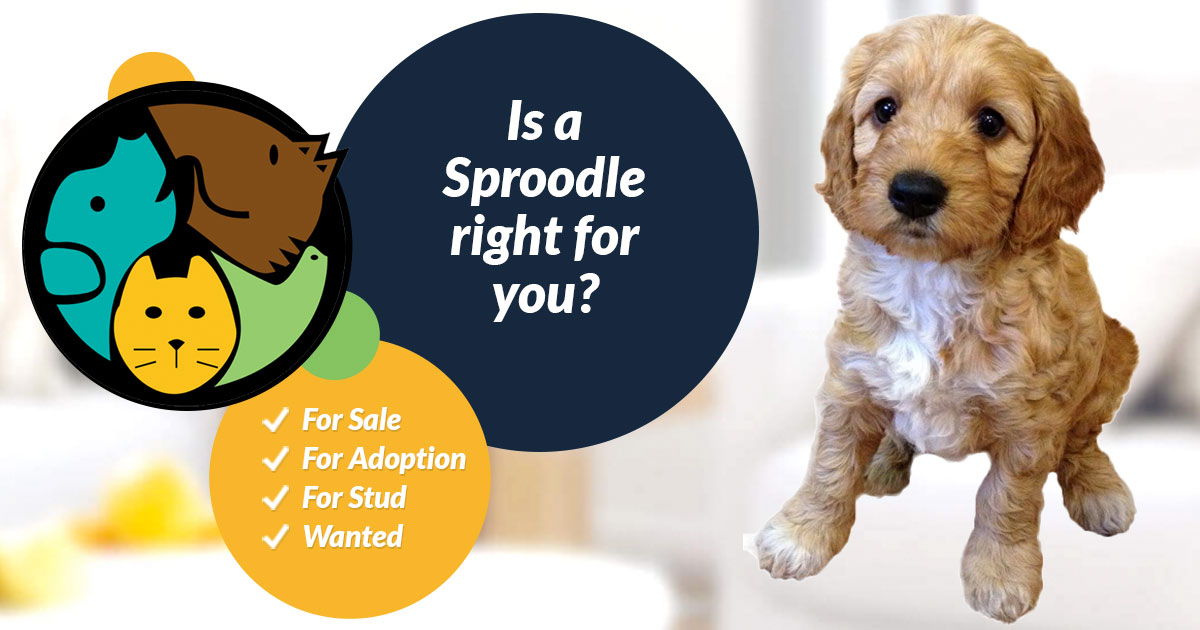 Sproodle Dog Breed Information Uk Pets