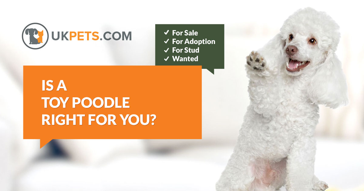 Toy Poodle Dogs For Sale UK | UK Pets
