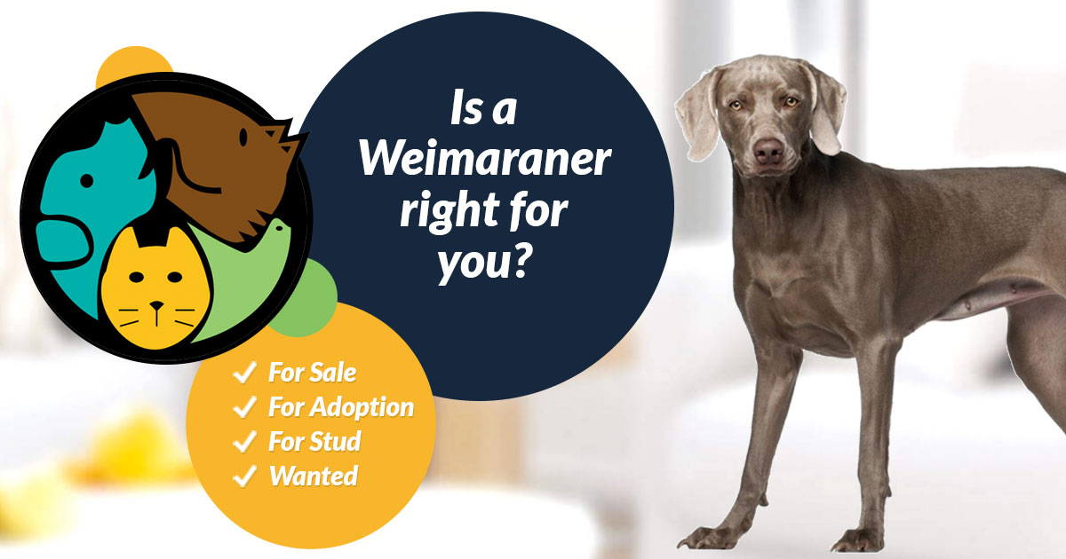 Weimaraner Dog Breed Information Uk Pets