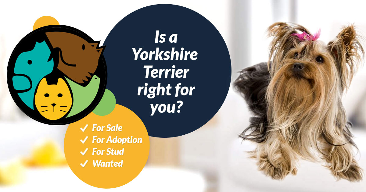 Yorkshire Terrier Dogs And Puppies For Sale In The Uk