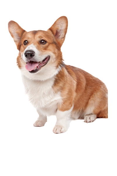 pembroke-welsh-corgi dog breed