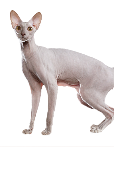 peterbald dog breed