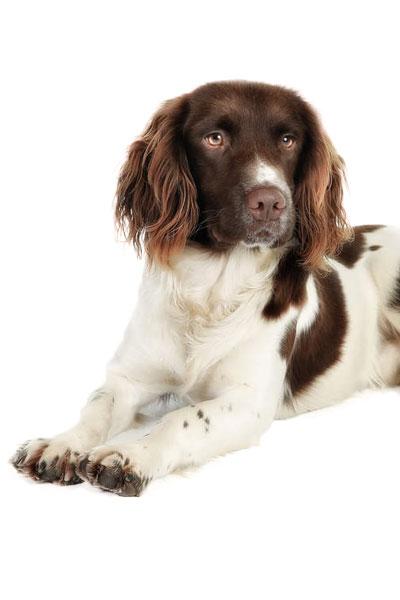 picardy-spaniel dog breed