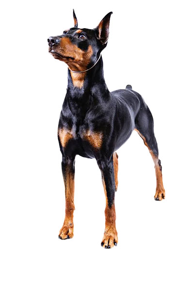 pinscher dog breed