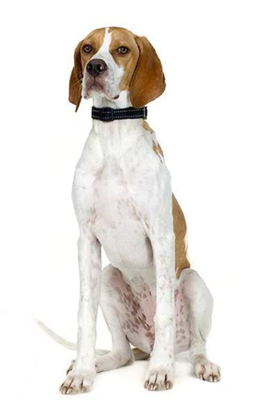 pointer dog breed