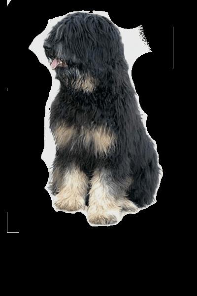 Portuguese Sheepdog