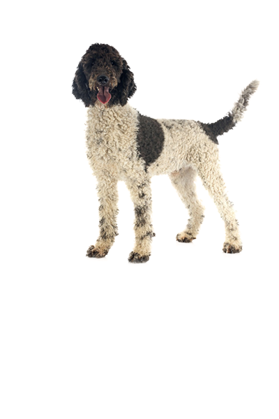 portuguese-water-dog dog breed