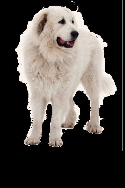 pyrenean-mastiff dog breed