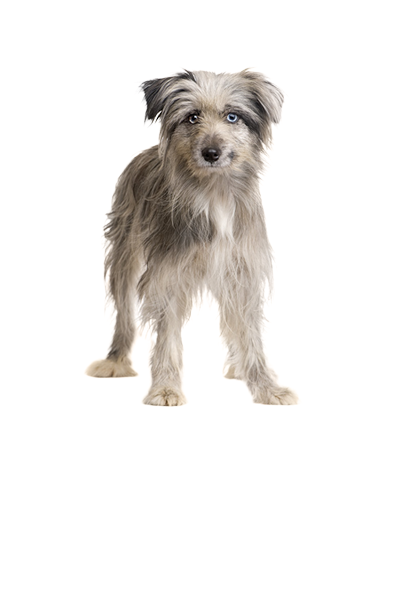 pyrenean-sheepdog dog breed