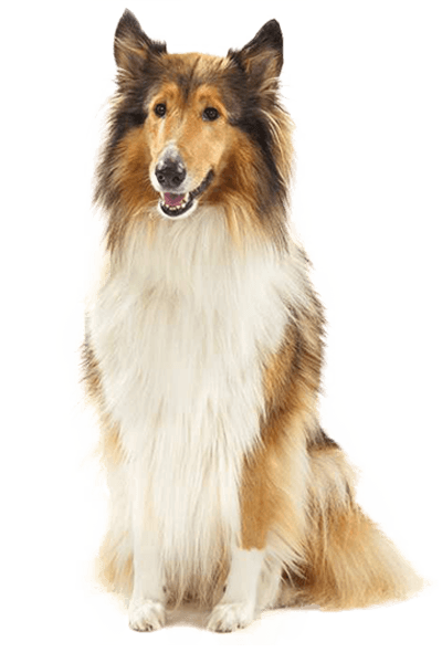 rough-collie dog breed