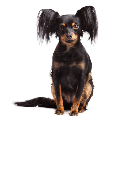 russian-toy-terrier dog breed