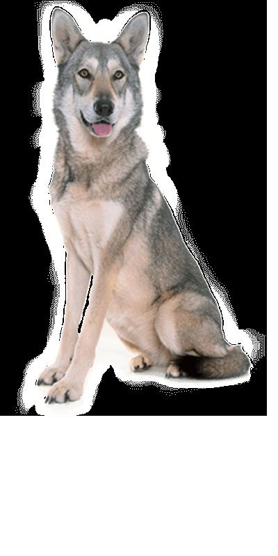 saarloos-wolfdog dog breed