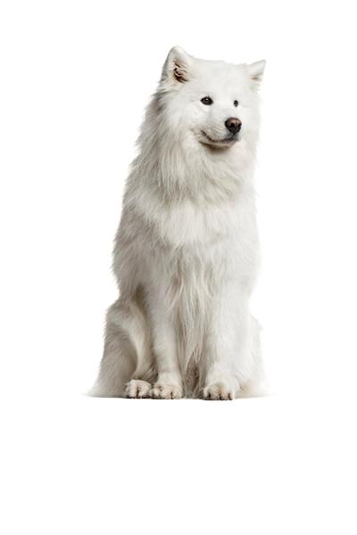 samoyed dog breed