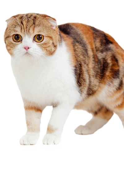 scottish-fold dog breed