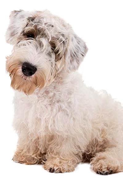 sealyham-terrier dog breed