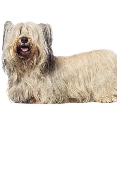 skye-terrier dog breed