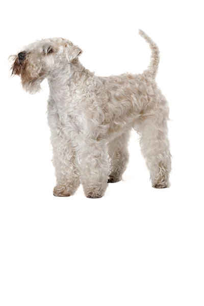 soft-coated-wheaten-terrier dog breed