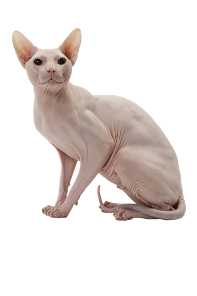 sphynx dog breed