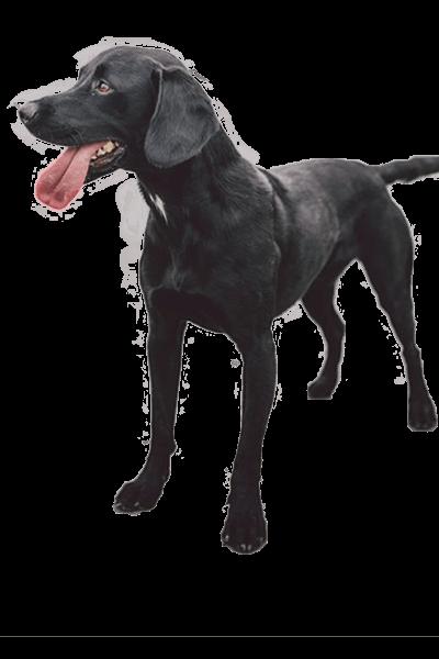 springador dog breed