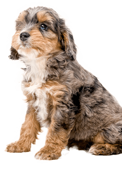 sproodle dog breed