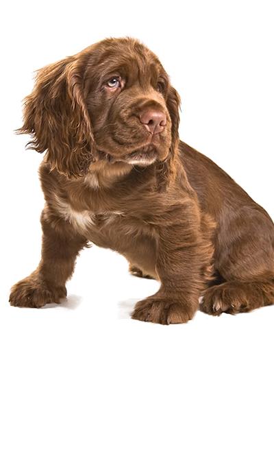 sussex-spaniel dog breed