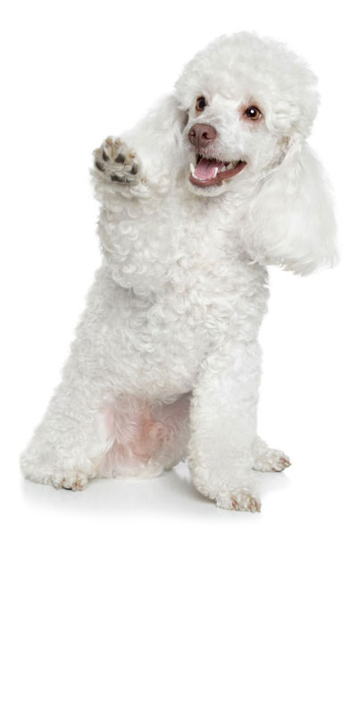 toy-poodle dog breed
