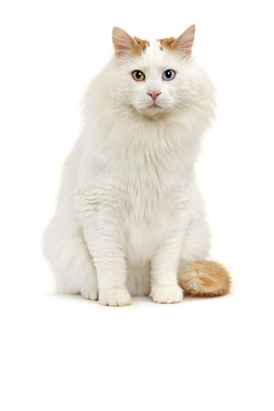 turkish-van dog breed