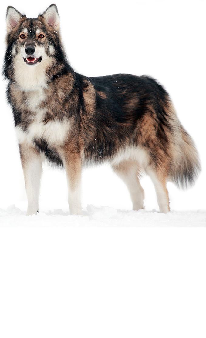 utonagan dog breed