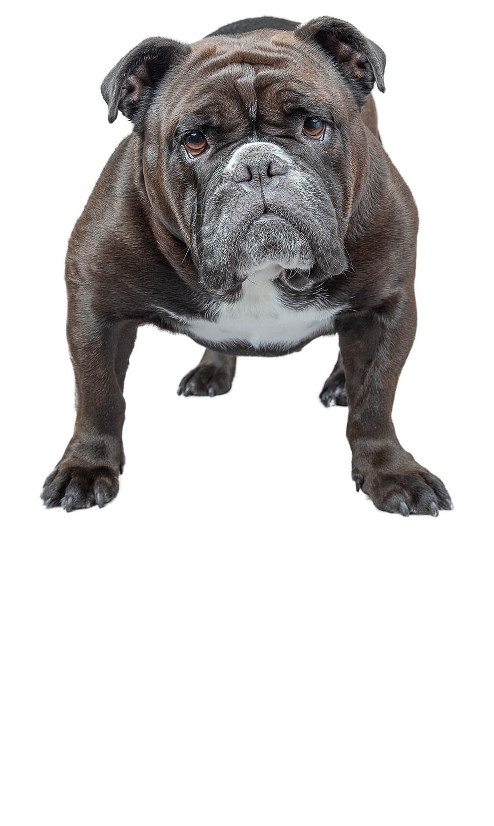 Victorian Bulldog