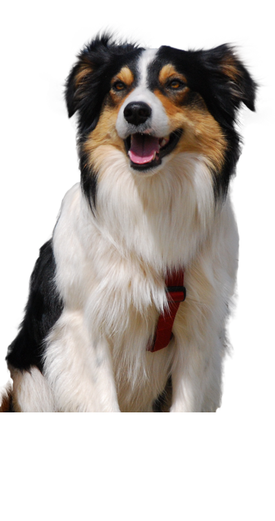 welsh-collie dog breed