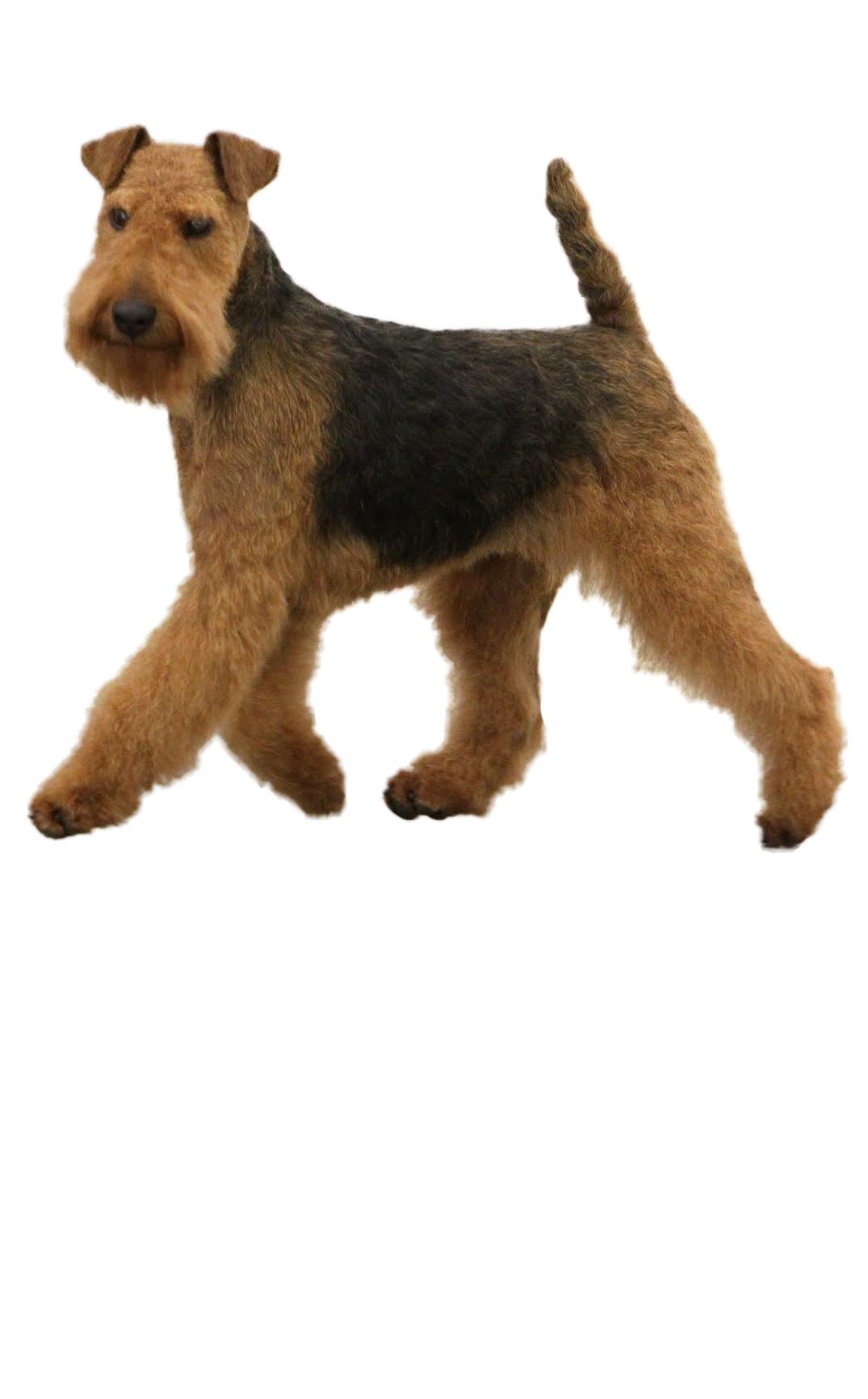 welsh-terrier dog breed
