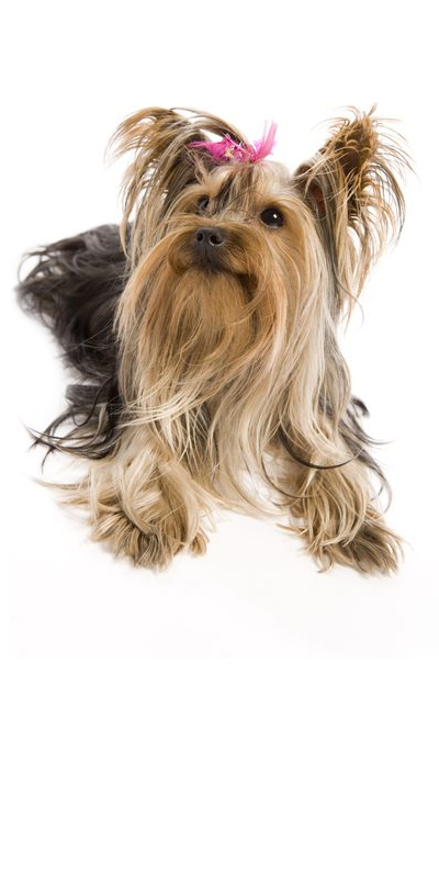yorkshire-terrier dog breed