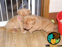 Dogue De Bordeaux for Rehoming