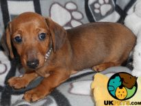 Available Dachshunds