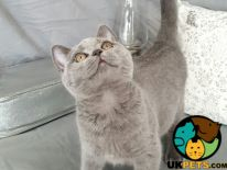 British Shorthair For Sale in London