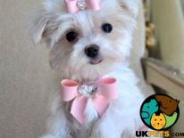 Maltese Dogs Breed
