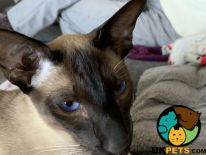 Siamese For Sale in the UK