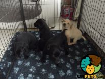 Labrador Retriever For Sale in Lodon