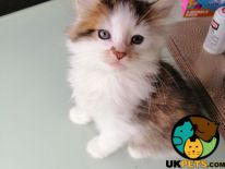 Available Norwegian Forest Cats