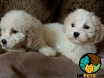Cavapoo For Sale in Lodon