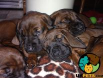 Bavarian Mountain Hound For Sale in Lodon