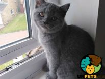 Scottish Folds for Rehoming
